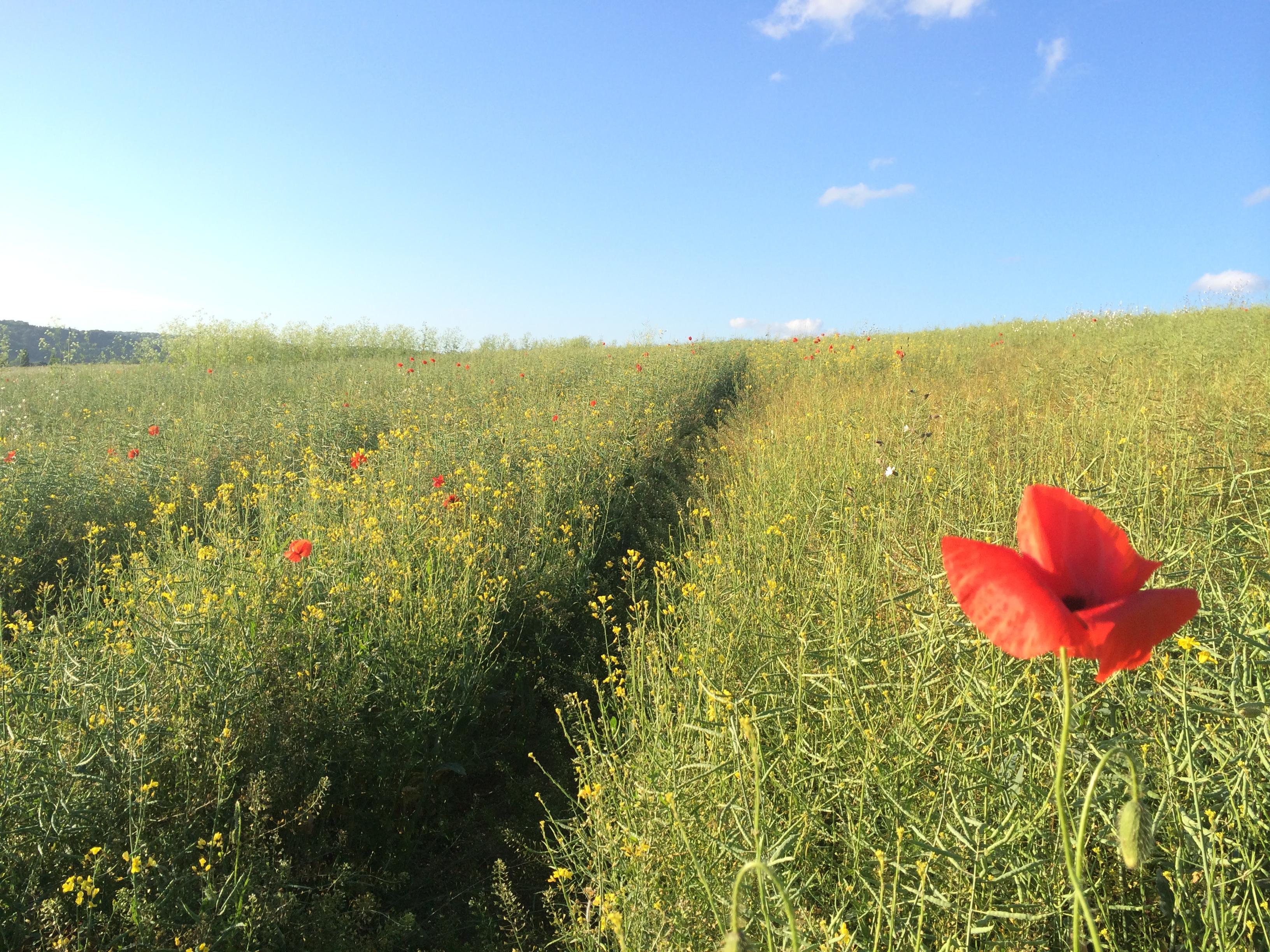 The Poppy Fields at Henley - better than a hangover
